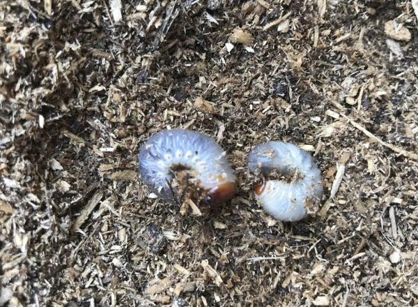 幼虫 カブトムシ の