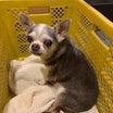 シェア 拡散希望 八代市 日奈久でのチワワの迷子犬