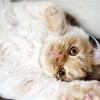 お安いタビーが可愛い茶とら猫 スコティッシュフォールド子猫 立ち耳 ロング オスの画像