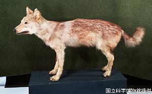 日本肉食系_ニホンオオカミを思う。 | todou455のブログ 火縄銃ときどき山登り