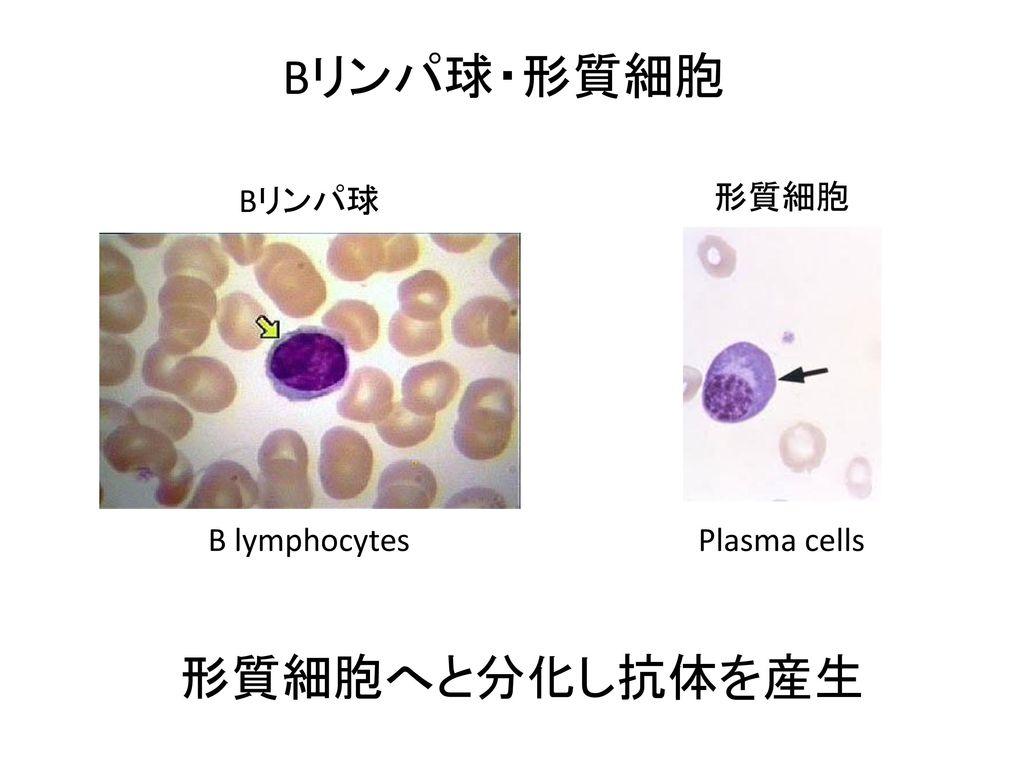 形質 細胞