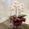 胡蝶蘭とfoxeyの画像