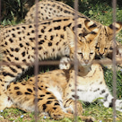 長寿動物顕彰、サーバル、チータ赤ちゃんの記事より