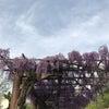 藤の回廊開花状況 R1.5.3の画像