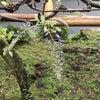 ふじの回廊開花状況 H31.4.26の画像