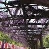 藤の回廊の開花状況 R1.5.2の画像
