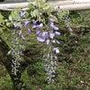 藤の回廊開花状況 H31.4.30の画像