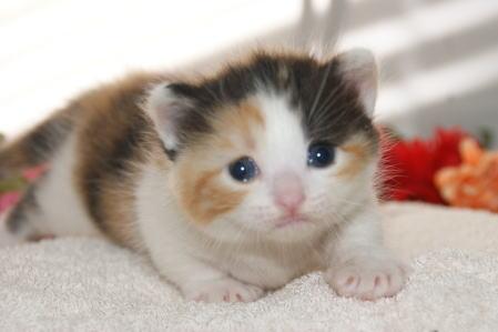 ☆マンチカン子猫☆/卸値価格販売!/宮城猫ブリーダー