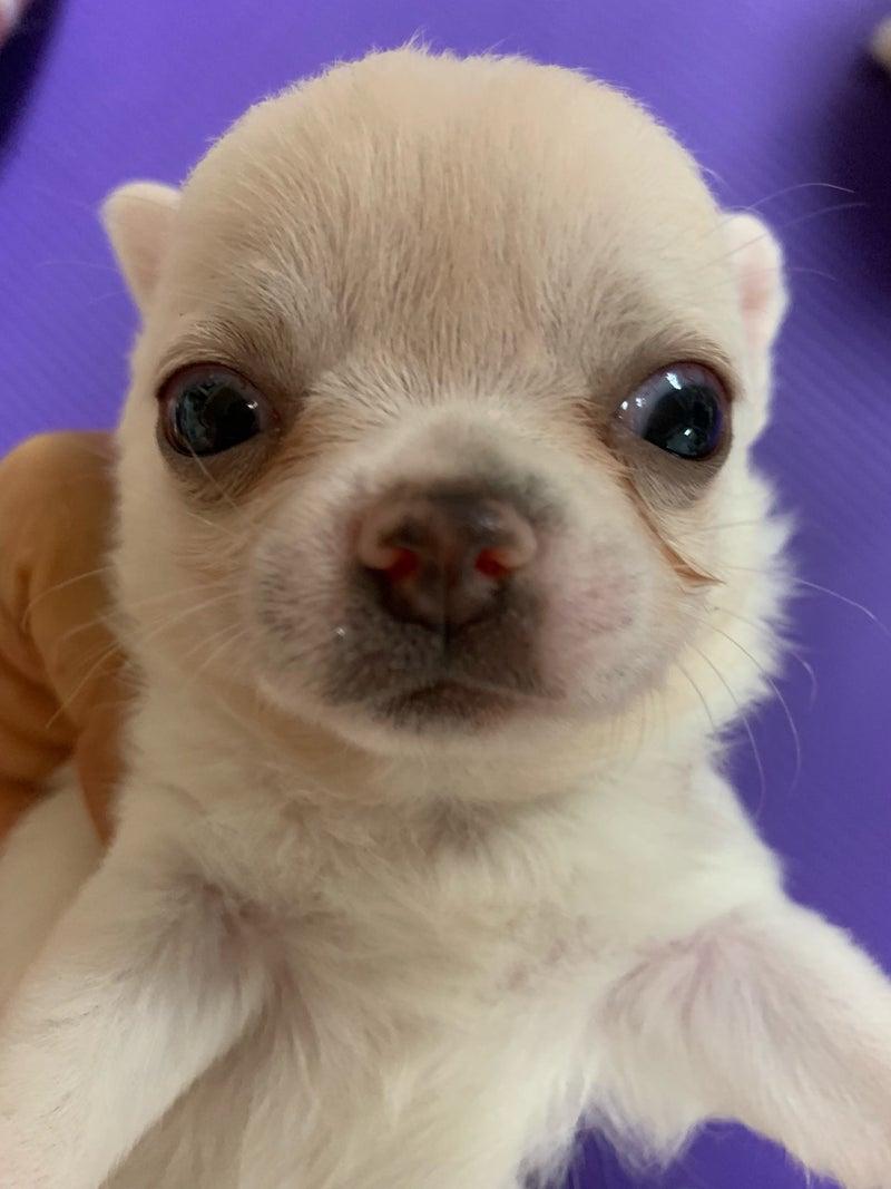 チワワハウス Angelica子犬情報、、、ホワイト 5匹