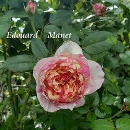 画像 咲きはじめたクロードモネ♪「ガーデン&ガーデン」発売 の記事より 10つ目
