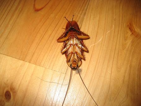 ゴキブリ 死ん だ ふり