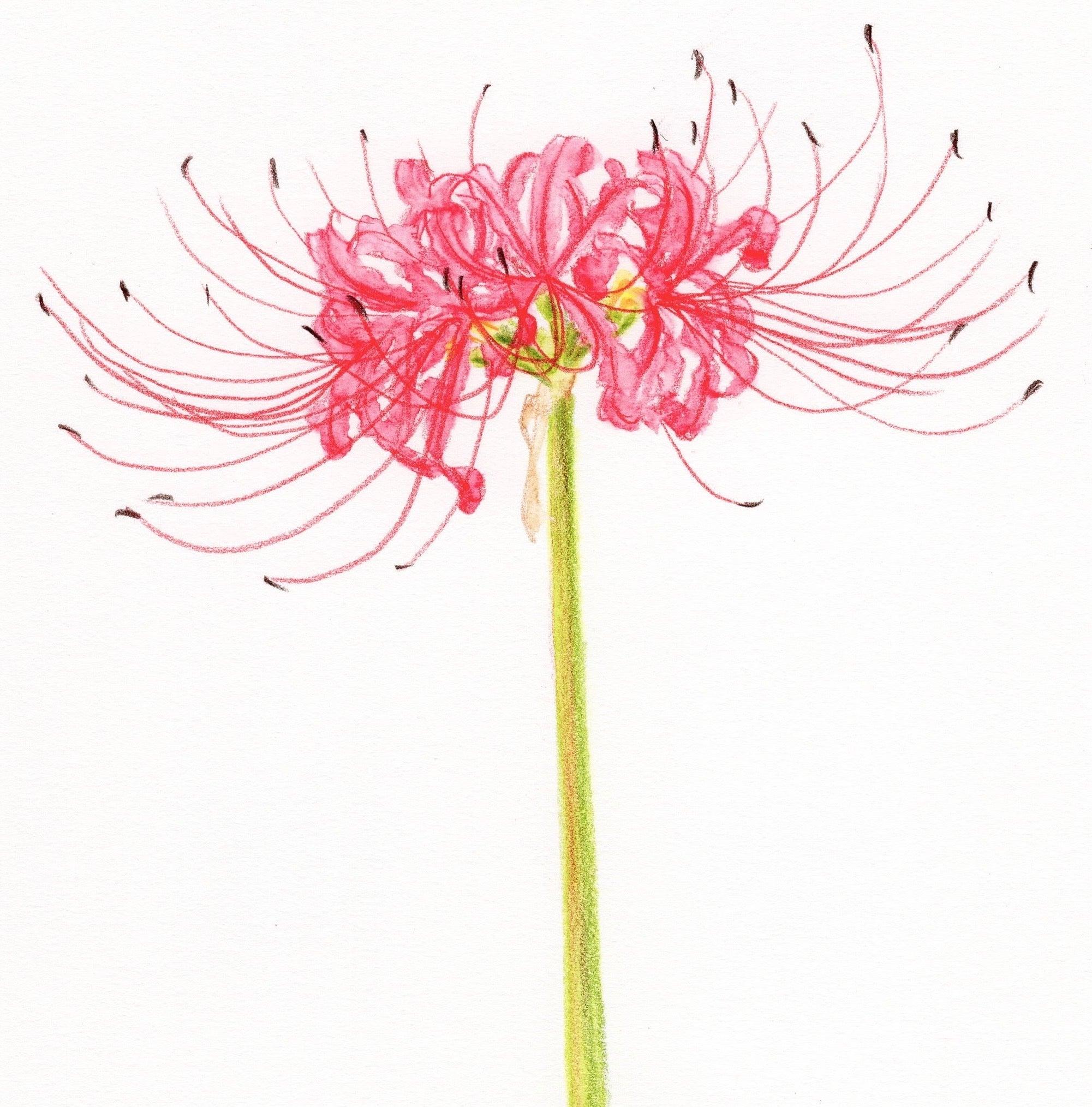 ヒガンバナ を水彩色鉛筆で一発描きスケッチ 色鉛筆で描く はじめての植物画