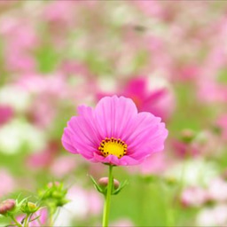 画像 コスモス~藤原宮跡(2019.10.6) の記事より 20つ目