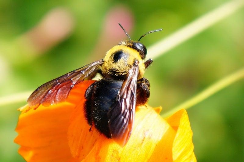 ハチの背中の毛