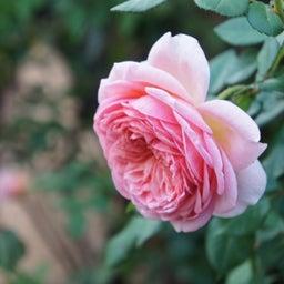 画像 秋バラが次々開花中❤秋の花後剪定はごく浅く! の記事より 5つ目