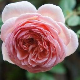 画像 秋バラが次々開花中❤秋の花後剪定はごく浅く! の記事より 2つ目