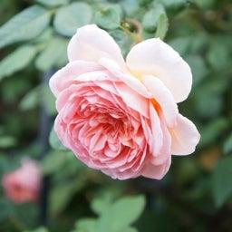画像 秋バラが次々開花中❤秋の花後剪定はごく浅く! の記事より 3つ目