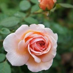 画像 秋バラが次々開花中❤秋の花後剪定はごく浅く! の記事より 4つ目