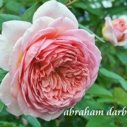 画像 秋バラが次々開花中❤秋の花後剪定はごく浅く! の記事より 1つ目