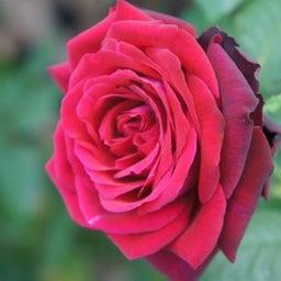 画像 秋バラが次々開花中❤秋の花後剪定はごく浅く! の記事より 9つ目