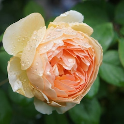 画像 秋バラが次々開花中❤秋の花後剪定はごく浅く! の記事より 7つ目