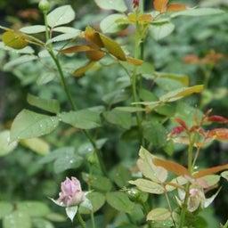 画像 秋バラが次々開花中❤秋の花後剪定はごく浅く! の記事より 12つ目