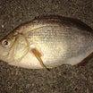 【平潟港・釣果】昨日10月13日(日)平潟港にてサビキ釣りでウミタナゴが釣れてっどぉ~♫