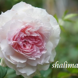 画像 耐病性のあるバラ「シャリマー」♪台風に負けず咲く(*^^)v の記事より 1つ目