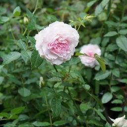 画像 耐病性のあるバラ「シャリマー」♪台風に負けず咲く(*^^)v の記事より 2つ目