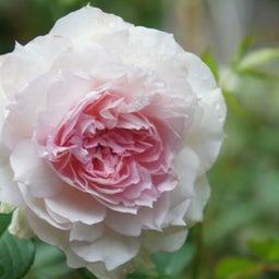 画像 耐病性のあるバラ「シャリマー」♪台風に負けず咲く(*^^)v の記事より 4つ目