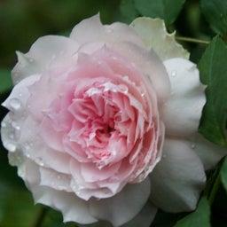 画像 耐病性のあるバラ「シャリマー」♪台風に負けず咲く(*^^)v の記事より 3つ目