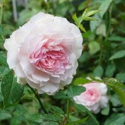 画像 耐病性のあるバラ「シャリマー」♪台風に負けず咲く(*^^)v の記事より 7つ目