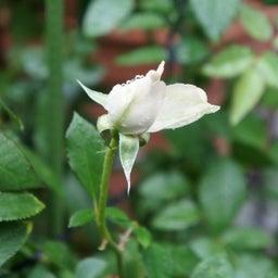 画像 耐病性のあるバラ「シャリマー」♪台風に負けず咲く(*^^)v の記事より 6つ目