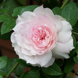 画像 耐病性のあるバラ「シャリマー」♪台風に負けず咲く(*^^)v の記事より 5つ目