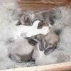茨城県水戸市にあるウサギ販売店「プティラパン」 ロップイヤー『ミルク』ベビー 10/6生④の画像