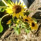 変わったヒマワリの花に遭遇!の記事より