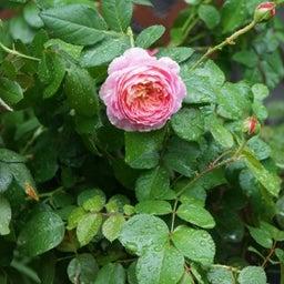 画像 咲きはじめたクロードモネ♪「ガーデン&ガーデン」発売 の記事より 5つ目