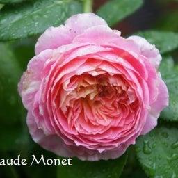 画像 咲きはじめたクロードモネ♪「ガーデン&ガーデン」発売 の記事より 3つ目