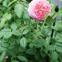 画像 咲きはじめたクロードモネ♪「ガーデン&ガーデン」発売 の記事より 4つ目