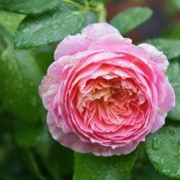 画像 咲きはじめたクロードモネ♪「ガーデン&ガーデン」発売 の記事より 8つ目