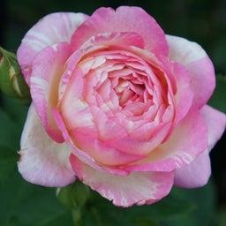 画像 咲きはじめたクロードモネ♪「ガーデン&ガーデン」発売 の記事より 9つ目