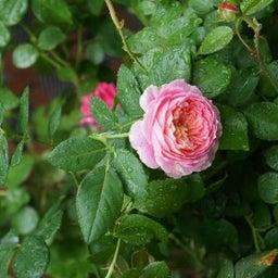 画像 咲きはじめたクロードモネ♪「ガーデン&ガーデン」発売 の記事より 6つ目