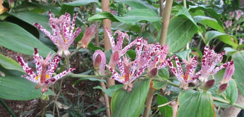 ほととぎす 時鳥草 杜鵑草 | 佳香の自詠句と書のブログ