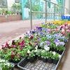たくさんのお花の苗をいただきました。の画像