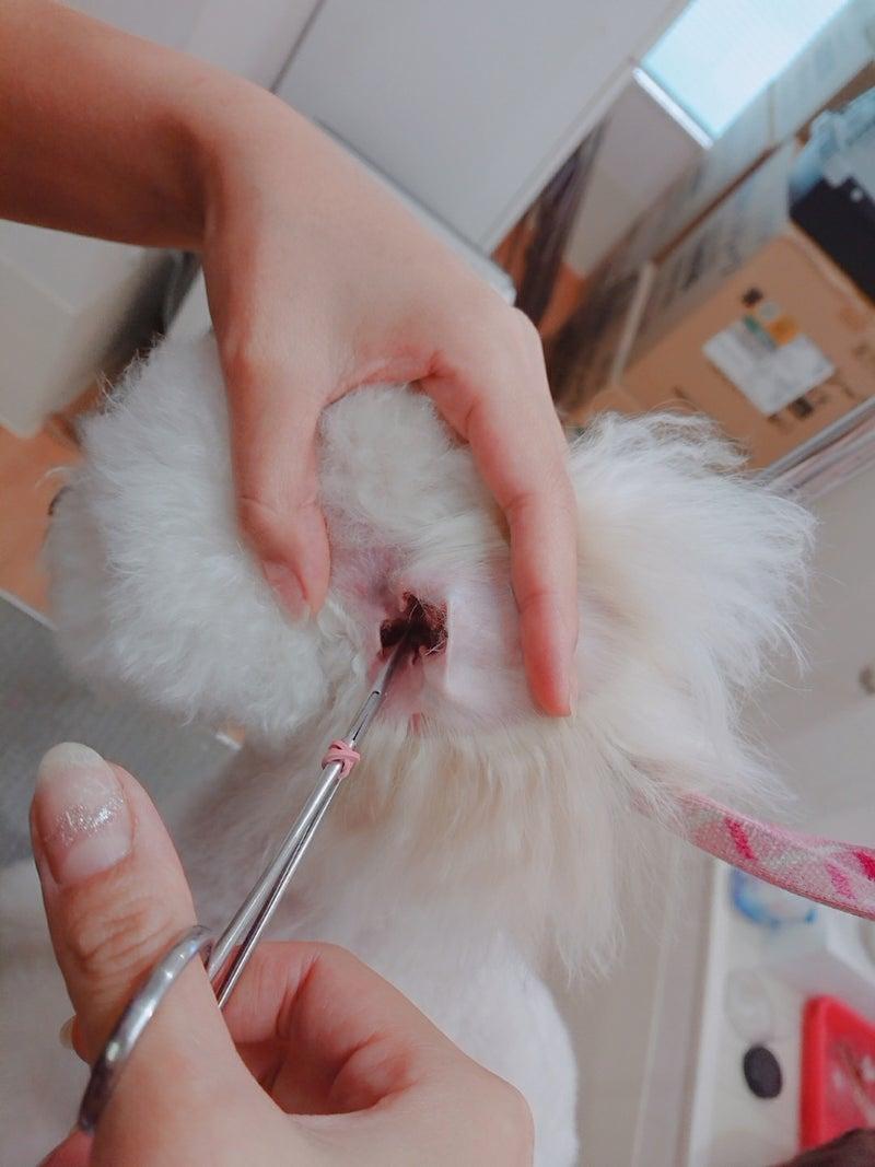 耳 掃除 犬