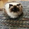 愛猫はなちゃん他界の画像