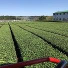 秋の番茶の収穫がほとんど終わりになりました。の記事より