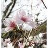 四季桜の画像