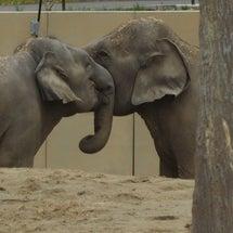 なぜ円山動物園はゾウ4頭を一挙導入できたのか――「変わらなきゃ」改革のシンボルに