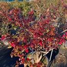 ブルーベリーの紅葉がますます美しく、、、の記事より
